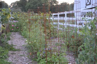 Concrete re-enforcement grid used for organized tomato cages