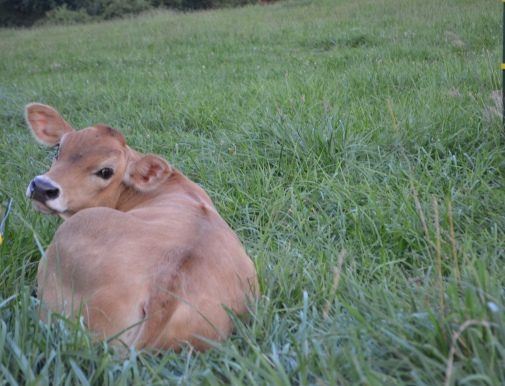 Toby the calf lounging in the pasture